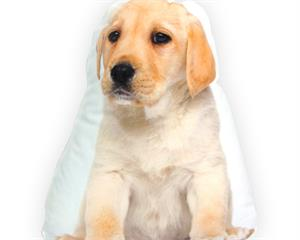 Golden Retriever Cream