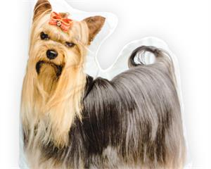 Yorkshire Terrier Grey